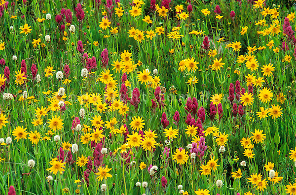 Alpine wildflowers, Paintbrush, Bistort and Sunflowers in the San Juan Mountains, Colorado, AGPix_0525...