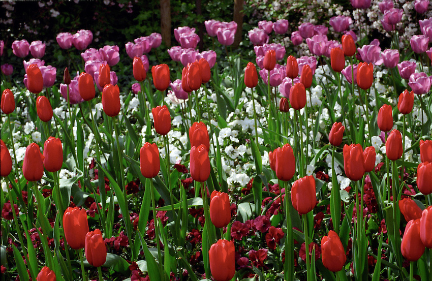 Red and pink tulips in Kensington Gardens, London, England