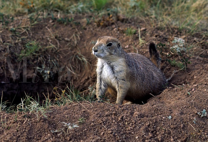 Prairie Dog in hole - DEVIL'S TOWER, WY