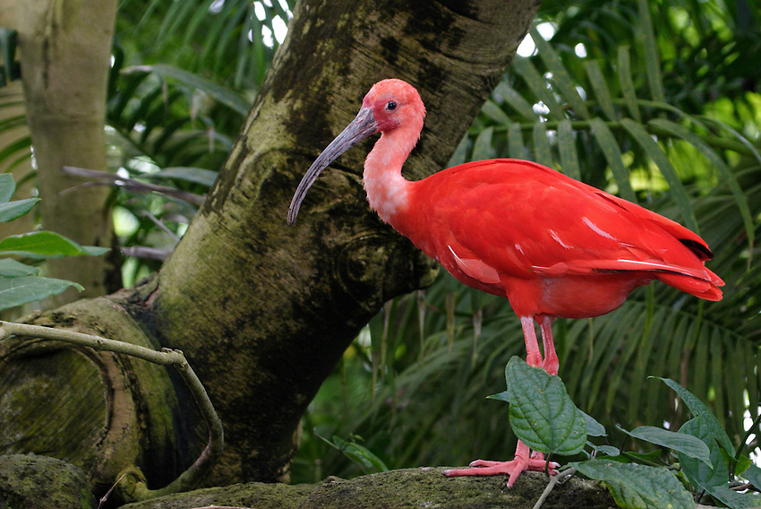The scarlet ibis (Eudocimus ruber) is a South American wading bird that belongs to the same order as herons, spoonbills, and storks.
