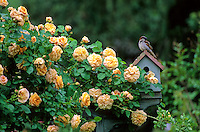Blooming Rose Garden and birdhouse, New Jersey