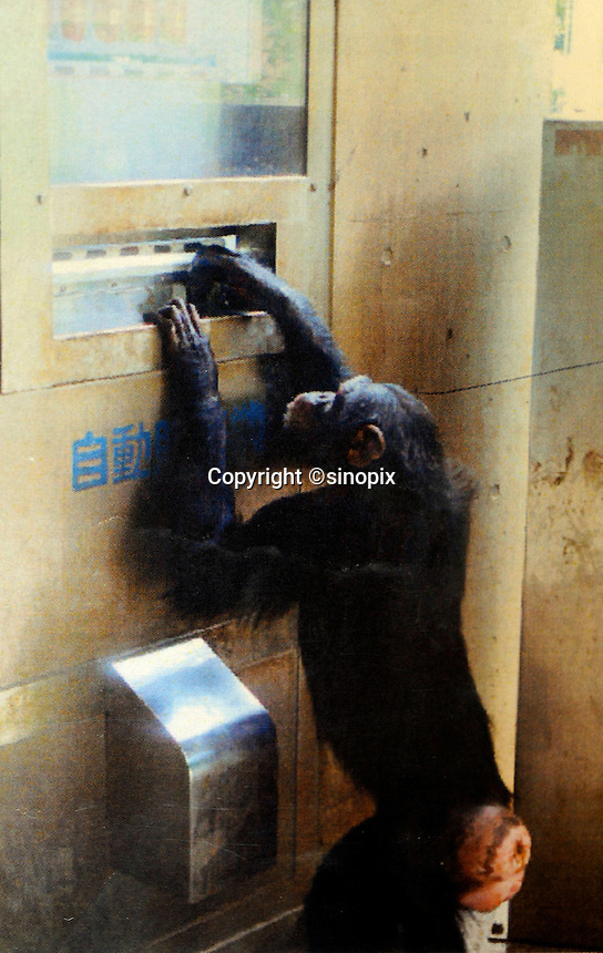 A chimpanzee inserts a 100 yen coin into a drink vending machine. Chimpanzees in Tama Zoo in the western suberbs of Tokyo buy soft drinks from a vending machine. The zoo, which is seen as one of Japan's most inovative, has installed a vending machine. The Chimps are given a 100 yen coin which they insert into a vending machine and are given a can of fruit or vegetable juice. The chimps then put the empty can into the waste machine for recycling.