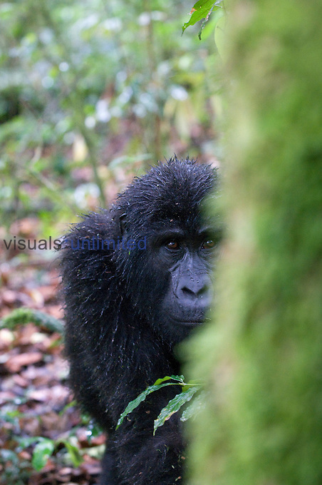 Mountain Gorilla (Gorilla beringei beringei), Bwindi Impenetrable Forest National Park, Uganda.