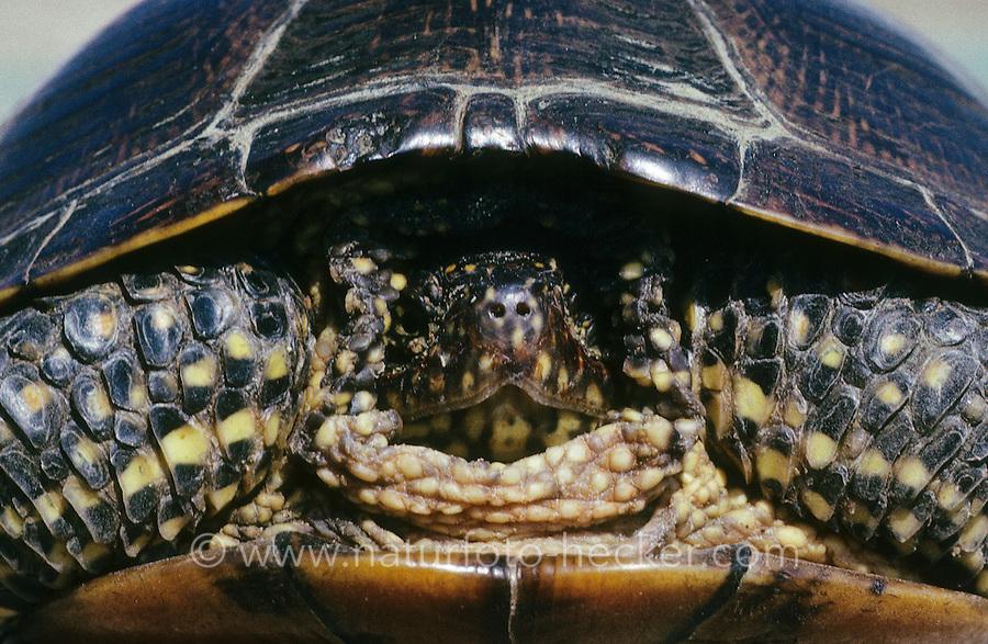 Europäische Sumpfschildkröte, Portrait, Sumpf-Schildkröte, Emys orbicularis, European pond turtle, European pond terrapin