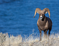 A ram stands above the Yellowstone River.