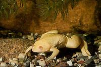 Großer Krallenfrosch, Glatter Krallenfrosch, Frosch, Albino, albinotische Form, Albino, Xenopus laevis, African clawed frog