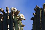 cardon cactus blooming