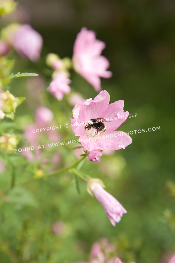 Bee gathering nectar from pale pink flower
