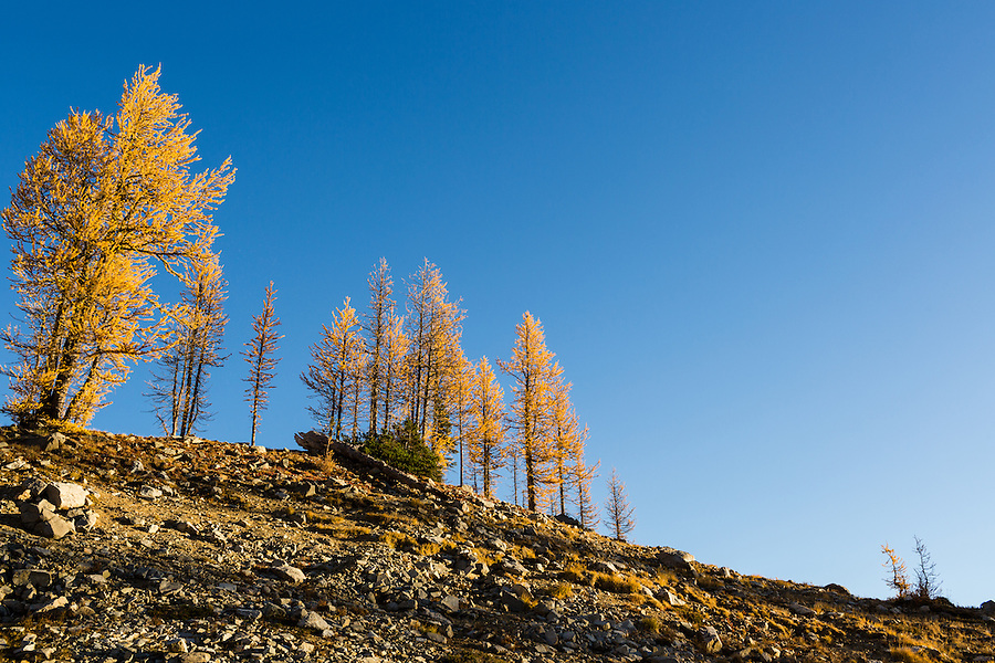 The needles of the Western Larch turn yellow with the changing of seasons in October along the Wing and Lewis Lake trail in Washington's North Cascade Mountain Range.