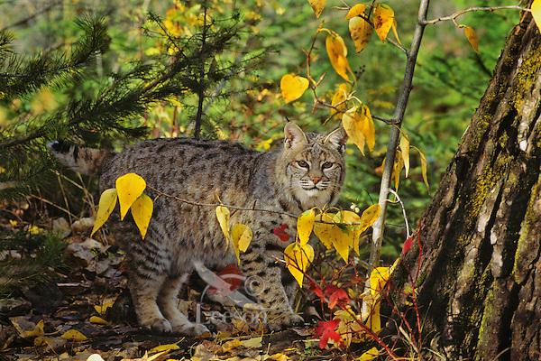 MR1280  Bobcat or wildcat (Felis rufus).  Western U.S.,.Fall.