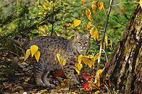 MR1280  Bobcat or wildcat (Felis rufus).  Western U.S.,.Fall.