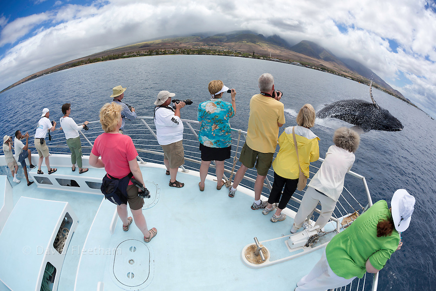 Photograhers on a whale watching boat out of Lahaina, Maui, get a close up look at a breaching humpback whale, Megaptera novaeangliae, Hawaii.