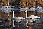 Trumpeter swan pair. National Elk Refuge, Wyoming.