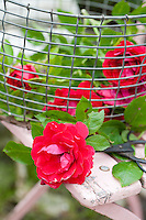 Freshly cut roses are collected in a wire basket in the garden