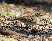 Chipping sparrow in winter plumage