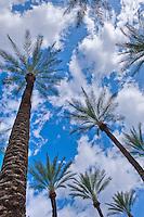 Palm, Tree, palm, tree s, CA, Fan Palm, native, Arecaceae, Palmae, Palmaceae California, palm, leaves