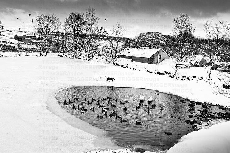 Daylight snowscene in Pennine Yorkshire with a doberman dog geese ducks and gulls and a pond.