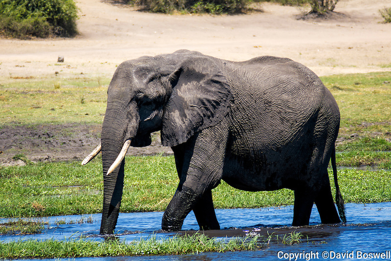 An elephant matriarch wades in the waters of the Chobe River in Chobe National Park, Botswana.