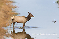 01980-02816 Elk (Cervus elaphaus) cow female with 3 legs crossing stream, Yellowstone National Park, WY