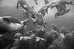 Coronado Islands, Baja California, Mexico; California Sea Lions swimming in the shallow water near the rocky shoreline