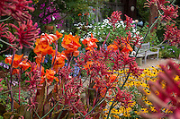 Colorful California garden with orange and yellow flower perennials, Canna, Anigozanthos, Rudbeckia; Schneck Garden