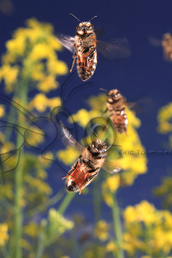 Foragers approaching their hive in a colza field. The bee's muscles allow it to flap its wings 400 to 500 times per second to allow a speed of 25 to 30 kilometers per hour with its maximum payload.