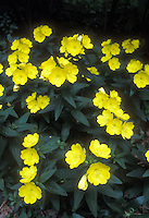 Oenothera fruticosa Sundrops Evening Primrose in yellow flowers in summer