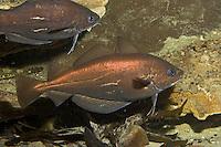 Franzosen-Dorsch, Franzosendorsch, Französischer Dorsch, Trisopterus luscus, Pout, Pouting, bib, Tacaud commun
