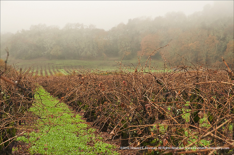 Tangle of old vines at rest and shrouded in winter fog in Sonoma
