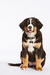 20160810 Martha Bernese Puppies