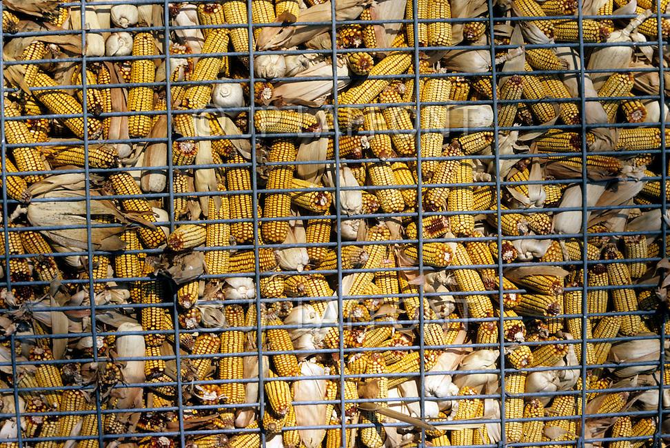 Minnesota, USA, September, 1978. Agriculture - corn harvest at Sleepy Eye.