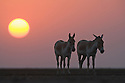 Indian wild asses (Equus hemionus khur) in vast dry clay pan at sunset; pan is flooded during monsoon<br /> The Indian wild ass's range once extended from western India, through Sind and Baluchistan, Afghanistan, and south-eastern Iran. Today, its last refuge lies in the little Rann of Kutch and its surrounding areas of the Greater Rann of Kutch in the Gujarat province.