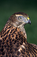 537413012 portrait of a captive juvenile northern goshawk accipiter gentillis