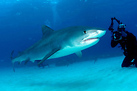 tiger shark, Galeocerdo cuvier, with divers and photographers, Little Bahama Bank, Bahamas, Caribbean, Atlantic