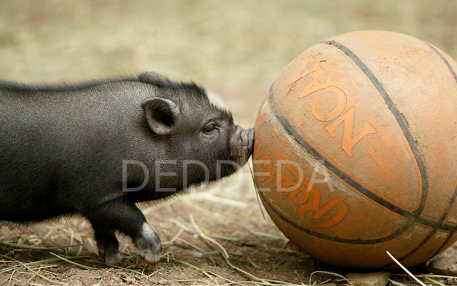 Basketball anyone? A baby Vietnamese pot-bellied pig, nearly three weeks old, has some fun pushing a basketball around its pen with its snout at the Beacon Hill Children's Farm in Victoria, British Columbia, Canada. Photo assignment for the Victoria Times Colonist newspaper.