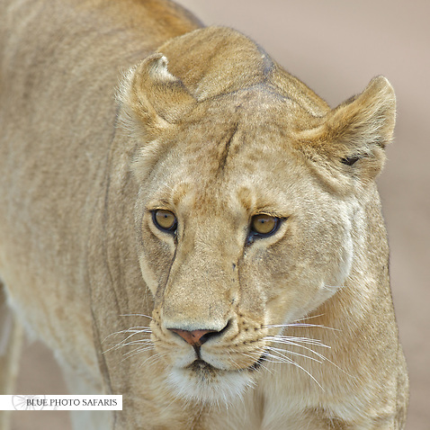 Eyes of a lioness (Panthera leo)