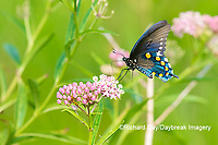 03004-01619 Pipevine Swallowtail (Battus philenor) on Swamp Milkweed (Ascelpias incarnata) Marion Co. IL