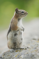 Golden-mantled Ground Squirrel (Spermophilus lateralis), female, Rocky Mountain National Park, Colorado, USA