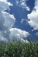 Puffy White Cumulus Clouds Against Brilliant Blue Sky above Corn Field - Vertical