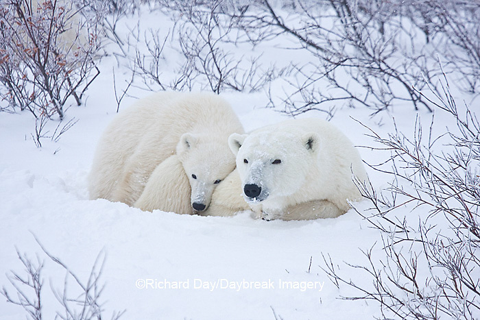 01874-11613 Polar Bears (Ursus maritimus) female and cub, Churchill Wildlife Management Area,  MB
