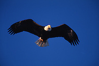 A Bald eagle (Haliaeetus leucocephalus) in precision flight against a deep blue sky.