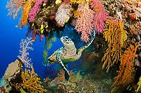 hawksbill sea turtle, Eretmochelys imbricata, critically endangered species, Fiji, Koro Sea, South Pacific Ocean (dc)