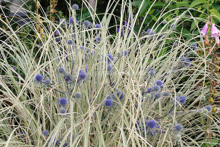 Eryngium planum blaukappe miscanthus sinensis plant for Small blue ornamental grass