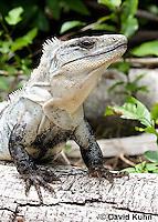 0626-1105  Black Spiny-tailed Iguana (Black Iguana, Black Ctenosaur), On Half-moon Caye in Belize, Ctenosaura similis  © David Kuhn/Dwight Kuhn Photography