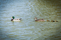 A Mallard family: male, female and ducklings, swim in the duck pond at San Lorenzo Park, an avian oasis in an urban setting.