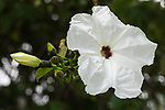The Cazahuate or Casahuate, the Tree Morning Glory, Ipomoea arborescens, is a tropical tree native to Mexico.  It produces large white flowers.