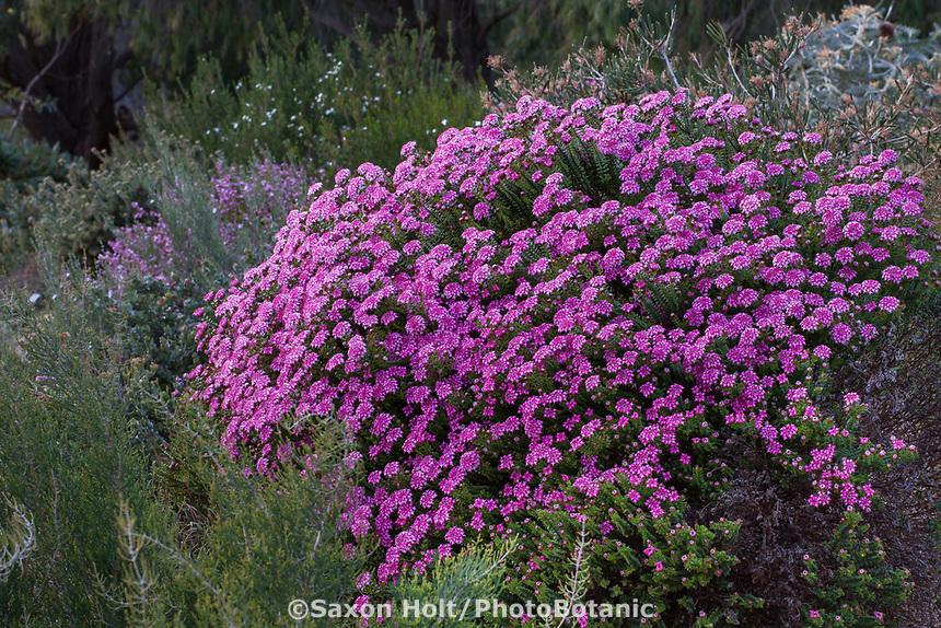 Pimelea ferruginea 'Bon Petite' (Rice Flower) University of California Santa Cruz Botanic Garden