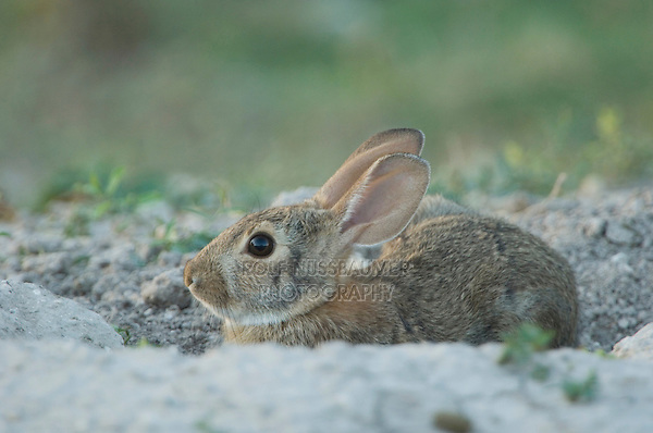 Eastern Cottontail, Sylvilagus floridanus, adult at entrance to Prarie Dog burrow, Lubbock,Texas,September 2005