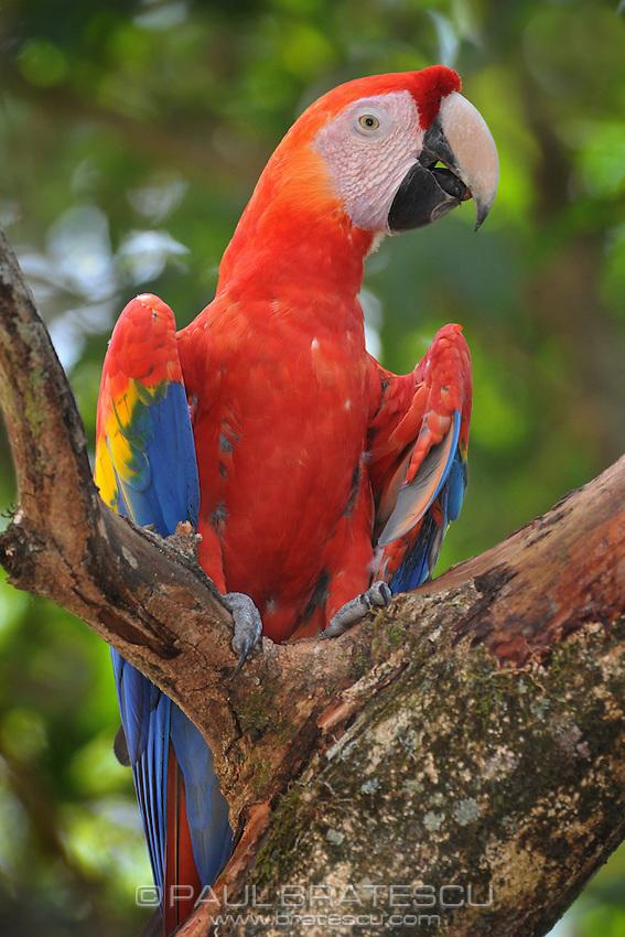 Scarlet Macaw (Ara macao) Copan Honduras.