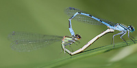 Marsh Bluet (Enallagma ebrium) damselflies - Mating pair in the wheel position, Orange River WMA, Whiting, Washington, County, Maine